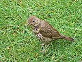 Song Thrush at Carreg Dhu gardens, St Mary's, Scilly - geograph.org.uk - 1617201.jpg