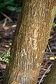 Sophora microphylla in Auckland Botanic Gardens 01.jpg