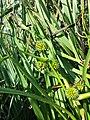 Sparganium erectum subsp. neglectum sl2.jpg