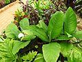 Spathiphyllum wallisii-2-yelagiri-vellore-India.jpg
