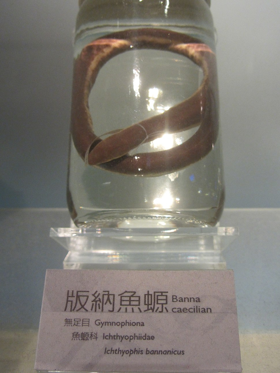 Specimen of Ichthyophis bannanicus in National Museum of Natural Science in Taiwan