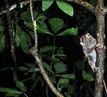 Spectral tarsier tempted by a grasshopper (8386343249).jpg