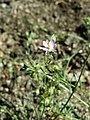 Spergularia rubra sl45.jpg