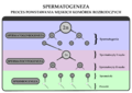 Spermatogeneza-schemat-nowy.png