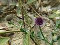 Sphaeranthus indicus.jpg