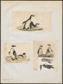 Spheniscus demersus - 1700-1880 - Print - Iconographia Zoologica - Special Collections University of Amsterdam - UBA01 IZ17800207.tif