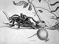 Spider dragging a humming bird from its nest Wellcome L0023761.jpg