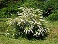 Spiraea (Poltava Botanical garden).jpg