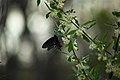 Spring-blue-orange-black-butterfly - West Virginia - ForestWander.jpg
