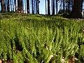 Sprossender Bärlapp Lycopodium annotinum-002.jpg
