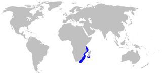 African angelshark Species of shark