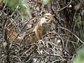 Squirrel - off the Icefields Parkway, Alberta (253485183).jpg