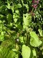 Stachys sylvatica-plant.jpg