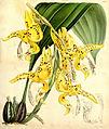 Stanhopea bucephalus (= oculata) Curtis v 87 pl. 5278 (1861).jpg