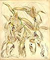 Stanhopea oculata - Curtis' 88 (Ser. 3 no. 18) pl. 5300 (1862).jpg