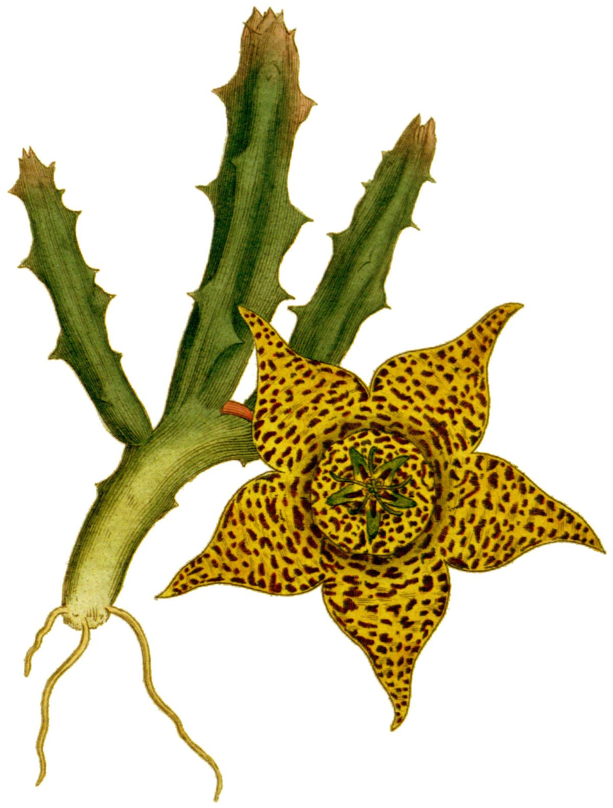 Orbea variegata wikipedia for Stapelia variegata
