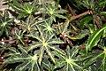 Star Begonia (Begonia heracleifolia) (3072509397).jpg