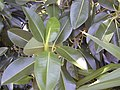 Starr-010425-0103-Ficus macrophylla-leaves-Haiku-Maui (24532538955).jpg