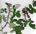 Starr-020221-9500-Rubus niveus-form a branch-Polipoli-Maui (24438542652).jpg