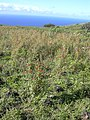 Starr-040331-0269-Zinnia peruviana-habit-Kanaio-Maui (24405068260).jpg