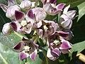 Starr-070207-4335-Calotropis procera-flowers-Maui Lani Kahului-Maui (24764218242).jpg