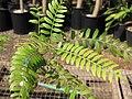 Starr-110215-1274-Schinus molle-leaves-KiHana Nursery Kihei-Maui (24449127333).jpg