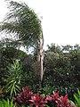 Starr-110330-3616-Syagrus romanzoffiana-habit-Garden of Eden Keanae-Maui (25054180406).jpg