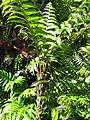 Starr-110330-3861-Diplazium esculentum-habit-Garden of Eden Keanae-Maui (24453983083).jpg