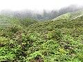 Starr-110722-7391-Polyscias oahuensis-habit-Waihee Ridge Trail-Maui (25099814035).jpg