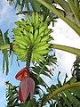 Starr-121108-0874-Musa x paradisiaca-Iholena Maia Kapua fruit-Pali o Waipio-Maui (24569792483).jpg