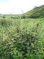 Starr-130322-3857-Urena lobata-habit-Hanalei NWR-Kauai (24579128624).jpg