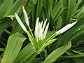 Starr-150403-1467-Crinum asiaticum-flower buds-Near Pier Eastern Island-Midway Atoll (24910136949).jpg