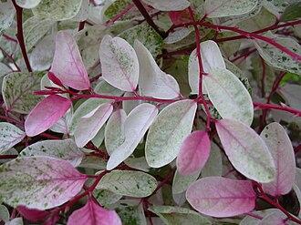 Phyllanthaceae - Leaves of Breynia disticha