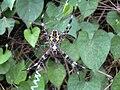 Starr 030612-0057 Ipomoea obscura.jpg