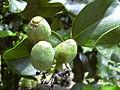Starr 030807-0116 Posoqueria latifolia.jpg