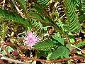 Starr 050419-0390 Mimosa pudica.jpg