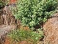 Starr 050525-6930 Eragrostis variabilis.jpg