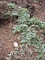 Starr 060228-8889 Tribulus cistoides.jpg