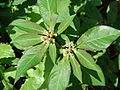 Starr 070111-3293 Euphorbia heterophylla.jpg