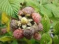 Starr 070621-7487 Rubus niveus f. a.jpg
