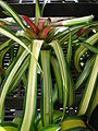 Starr 080117-1880 Unknown bromeliaceae.jpg