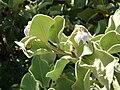 Starr 080603-5698 Solanum nelsonii.jpg