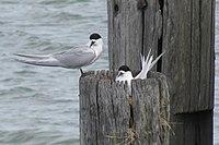 Sterna striata -Bayswater, Auckland City, New Zealand -adults and nest-8.jpg