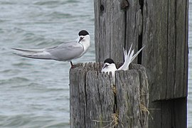 Sterna striata -Bayswater, Auckland City, New Zealand -adults and nest-8.jpg