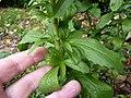 Stevia pied de 2 ans. Détail des feuilles de la base.jpg
