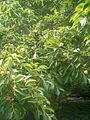 Stewartia pseudocamellia BotGardBln07122011A.JPG