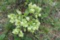 Stinkende Nieswurz (Helleborus foetidus).png