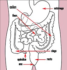 Stomach colon rectum diagram es (arrow version).jpg