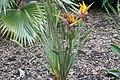 Strelitzia reginae var. Juncea 3zz.jpg