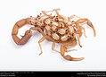 Striped Bark Scorpion (Buthidae, Centruroides vittatus (Say)) (36906276825).jpg
